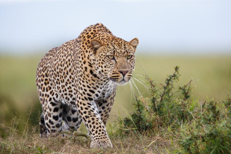 broderie diamant leopard